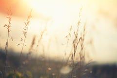 Gramas selvagens em uma floresta no por do sol Fotos de Stock Royalty Free
