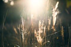 Gramas selvagens em uma floresta no por do sol Imagens de Stock Royalty Free