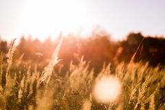 Gramas selvagens em uma floresta no por do sol no dia bonito Fotos de Stock