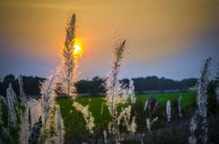 Gramas selvagens no tempo do por do sol Imagem de Stock