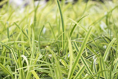 Gramas verdes do foco macio Fotografia de Stock Royalty Free