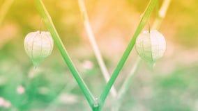 Grame a flor na mola do nascer do sol, fundo da natureza do verão Fotos de Stock Royalty Free