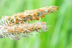 Gramilla fleurissant avec l'intensité dans le Bos d'Amsterdamse Photographie stock libre de droits