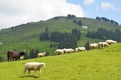 Graminée fourragère de moutons dans Appenzell Suisse Images stock
