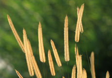 Gramineae flower or Pennisetum setosum. With green natural background Stock Photography