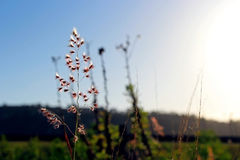 Gramineae flowers. Under blue sky Stock Photography