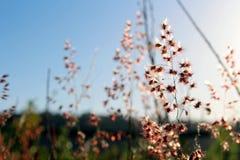 Gramineae flowers. Under blue sky Royalty Free Stock Image