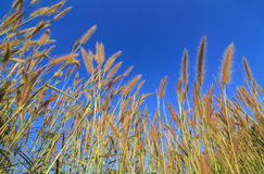 Gramineae grass Royalty Free Stock Images