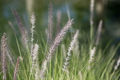 Gramineae grass. Close up of gramineae grass under sunlight Royalty Free Stock Image