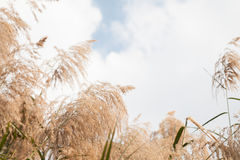 Gramineae. Grass  with cloud Background Stock Photography