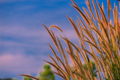 Gramineae Grass in the Field. With Blue Sky Background Royalty Free Stock Photo
