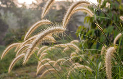 Gramineae grass field at morning. Flower of gramineae grass field at morning Stock Image
