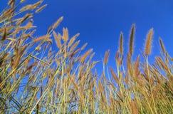 Gramineae Grass flower. Gramineae Grass against blue sky background Stock Image