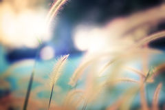 Gramineae grass in pastel color. Royalty Free Stock Images