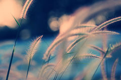 Gramineae grass in pastel color. Stock Images