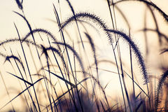 Gramineae grass Stock Photo
