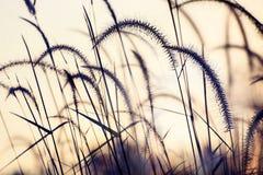 Gramineae grass Stock Photo