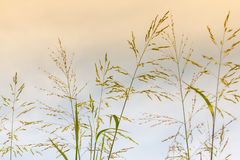 Gramineae grass. Royalty Free Stock Photography