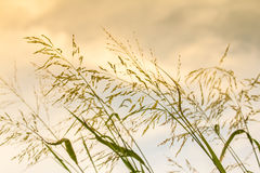 Gramineae grass. Gramineae grass waver the flow wind in Sunset time Stock Images