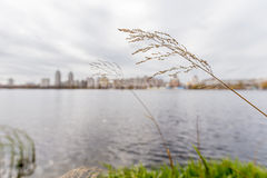 Gramineae herbs Close to the River. Gramineae herbs moved by the wind close to the Dnieper river  under the cold winter sun Stock Photography