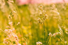 Gramineae herbs in the Meadow Royalty Free Stock Photos