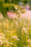 Gramineae herbs in the Meadow Stock Image