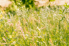Gramineae herbs in the Meadow Royalty Free Stock Photo