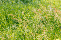 Gramineae herbs in the Meadow Stock Photos