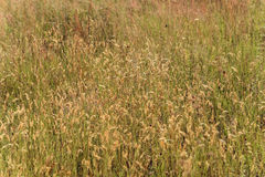 Gramineae in the Meadow. Golden gramineae moved by the wind in a meadow  under the warm summer sun Stock Photo