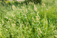 Gramineae in the Meadow. Gramineae moved by the wind in a meadow  under the warm spring sun Royalty Free Stock Photography