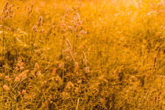 Gramineae in the Meadow. Gramineae moved by the wind in a meadow  under the warm spring sun Royalty Free Stock Images