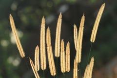 Gramineae or Pennisetum setosum Silhouette. On green background Royalty Free Stock Photos