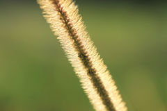 Gramineae or Pennisetum setosum Silhouette. With green background Stock Image