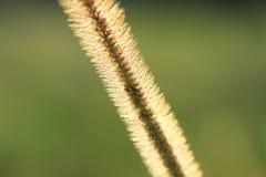 Gramineae or Pennisetum setosum Silhouette Stock Image