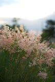 Gramineae rosado de la hierba Fotografía de archivo libre de regalías