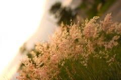 Gramineae rosado de la hierba Imagen de archivo
