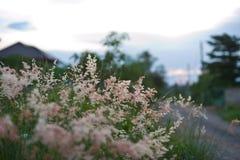 Gramineae rosado de la hierba Fotos de archivo