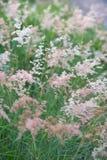 Gramineae rosado de la hierba Imágenes de archivo libres de regalías