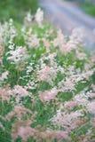 Gramineae rosado de la hierba Imagenes de archivo