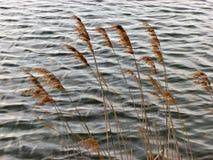 Gramineous växter på vattenbakgrund Royaltyfri Foto
