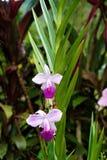 Graminifolia d'Arundina repéré au centre biologique de Las Quebradas photo libre de droits