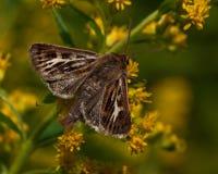 Graminis Cerapteryx Noctuidae Στοκ εικόνες με δικαίωμα ελεύθερης χρήσης