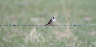 Grammacus di Lark Sparrow Chondestes sul recinto del filo spinato Fotografie Stock