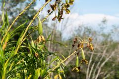 Grammatophyllum speciosum, also called giant orchid, tiger orchid, sugar cane orchid or queen of the orchids. Grammatophyllum speciosum, also called giant royalty free stock images