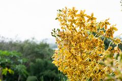 Grammatophyllum speciosum, also called giant orchid, tiger orchid, sugar cane orchid or queen of the orchids. Biggest orchid of the world stock images
