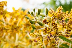 Grammatophyllum speciosum, also called giant orchid, tiger orchid, sugar cane orchid or queen of the orchids. Biggest orchid of the world royalty free stock photo