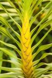 Grammatuphyllum Speciosum или цветок леопарда Стоковое Изображение RF
