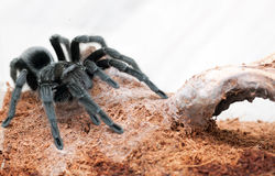 Grammostola pulchra Stock Photos