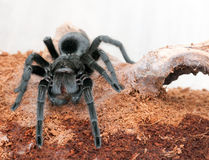 Grammostola pulchra Royalty Free Stock Photos