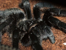 Grammostola pulchra Stock Photography